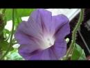 Цветёт вьюнок ипомея у окна на балконе