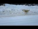 Наш ВОЛКОДАВ ! ! ! Унгар ! ЗВЕРЬ ! Вот так выглядят собаки боксёров и легкоатлетов ! 😂🙈🙉