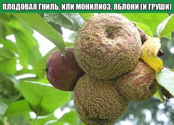 Плодовая гниль, или монилиоз, яблони (и груши