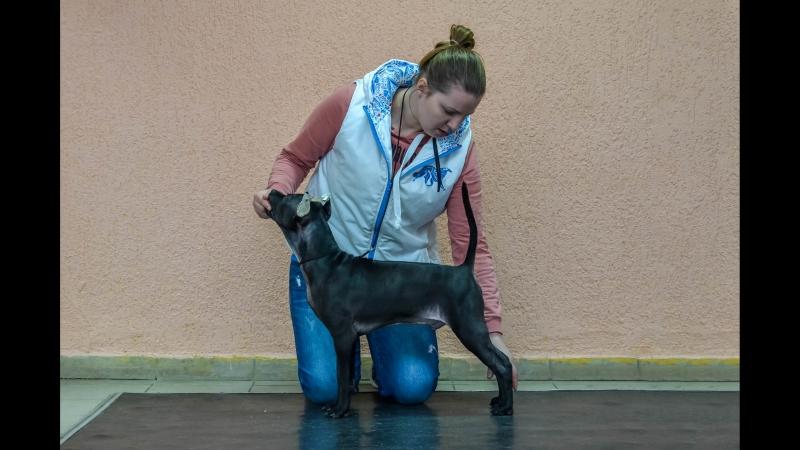 Thai Ridgeback Puppy ❤ Тайский риджбек щенок ❤ Lomion Rodon et Tar-menel ❤