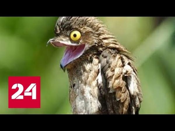 Козодой птица пылесос или ночная ласточка Россия 24