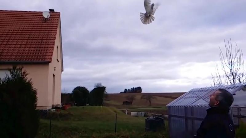 Красивый лет и бой голубя Бакинец.pigeons flying tumblers