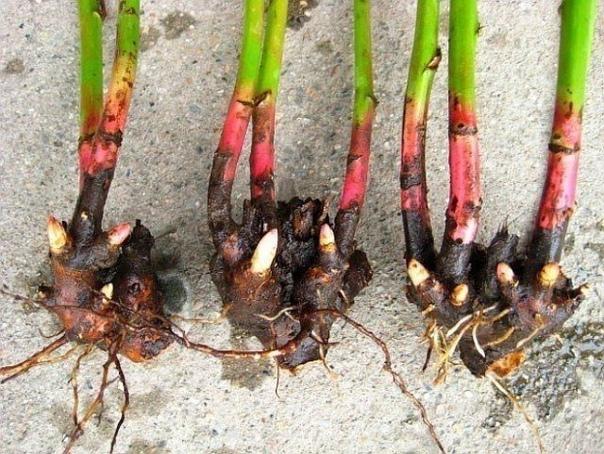 Пионы: как делить и пересаживать кусты Когда и как делить пионыДо похолодания корни растений должны полностью прижиться и дать небольшие ростки. Поэтому лучше всего делить кусты пиона с конца