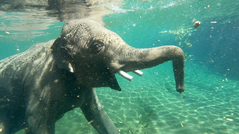 To Be An Elephant Frolicking In A Pool
