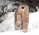 Подушечки лап канадской рыси полностью покрыты шерстью.
