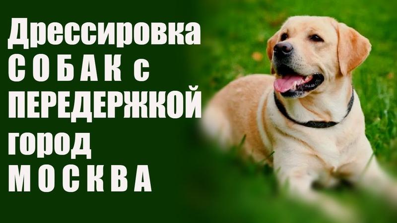 Дрессировка собак Лабрадор город Москва