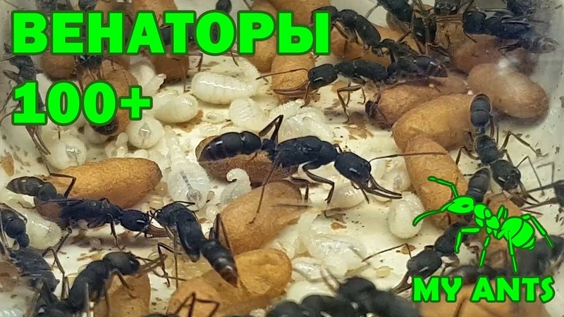 Колония Венаторов Harpegnathos venator численность муравьев 100