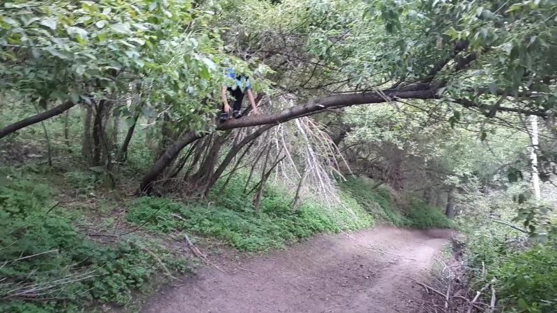 В берёзой роще. Манс влезает на дерево