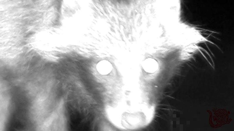 Енотовидная собака со щенком ночью