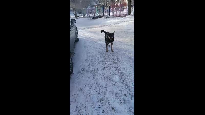 Бездомная собака бросается на людей в центре города Орск