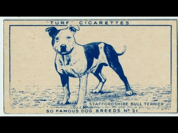 Vintage Staffordshire Bull Terrier The Mascot of England