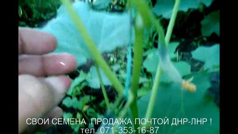 Огурец Партенокарп ( пригодный для сбора семян )