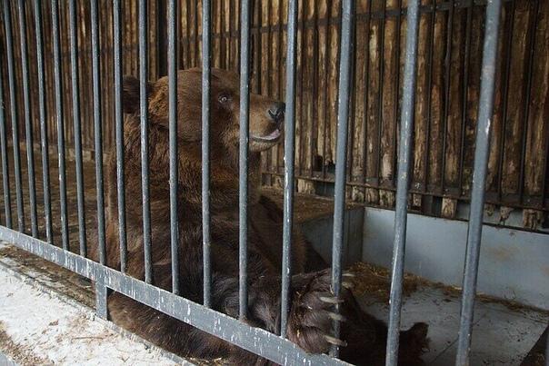 В Омске медведь откусил нетрезвому мужчине руку. Очевидцы просили его не лезть. В Омске на минувших выходных произошло необычное ЧП. В одном из зданий на улице Барабинская на окраине Омска живут
