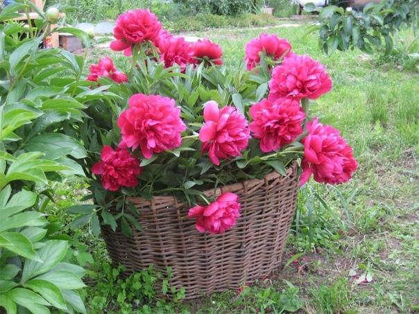 Весенняя подкормка пионов для пышного цветения