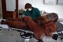 Ветеринар осматривает 14-летнего орангутана, найденного с металлической пулей в теле.