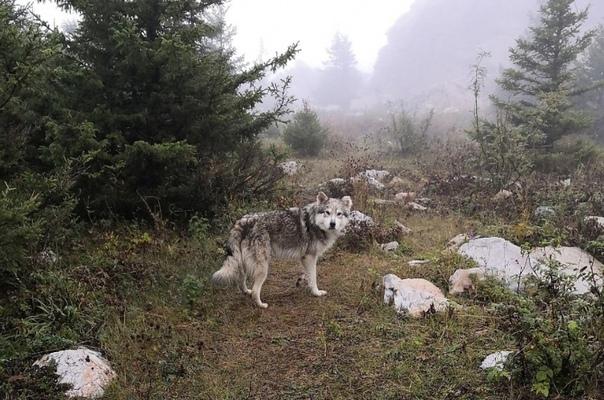 Местный пёс спас туристок, потерявшихся в горах В национальном парке Зюраткуль живет пес Рой, окрасом напоминающий волка. Посетители нацпарка прозвали его Духом горы. Хвостатый часто охотится на