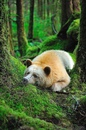 Кермодский медведь обитает в лесах западного побережья Канады.