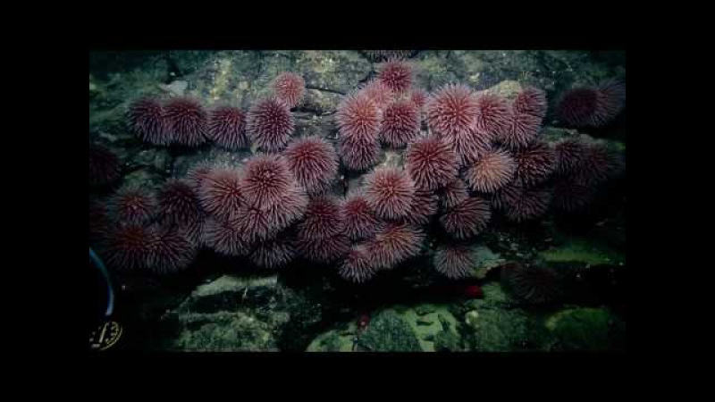 Lush Ledge Abundance of Anemones Nautilus Live