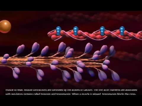 Muscle Contraction Process Molecular Mechanism 3D Animation 1