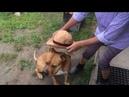 Питбуль. Бутч супер ищейка! Самая умная собака в мире!