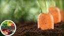 Все тонкости подзимнего посева моркови для превосходного результата