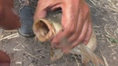 Толстолобики клюют дуплетом. Две снасти на толстолоба и ловля карпа