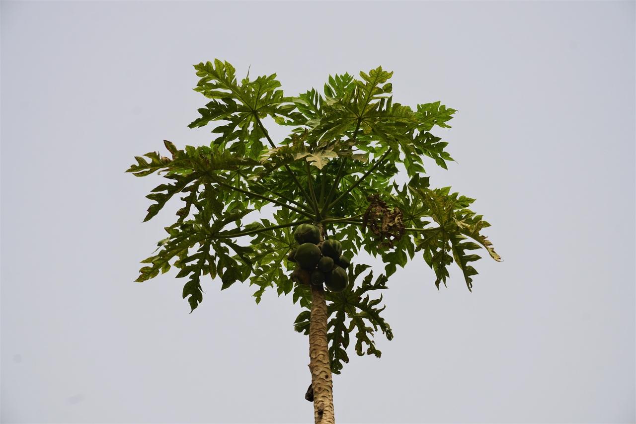 Как растут папайя