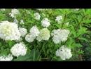 8703 Ванилла Фрайз НАЧАЛО цветения В белых тонах Без обрезки
