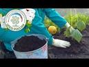 Выращивание огурцов. Подсыпка огурца.