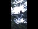 Орущие совы (детишки ушастой совы)