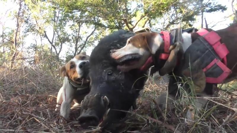 Hogs Dogs Quads 6 Aussie Pig dog Hunting wild Boar Bull Arab Doggin Pigging shooting fishing