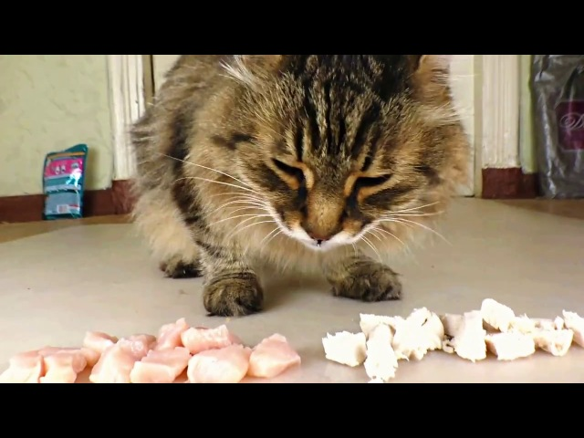 Raw or boiled chicken? What does the cat like to eat?