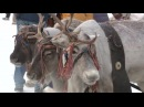 Вести Зрелищный дрифт на оленьих упряжках в Ханты-Мансийске прошли большие гонки