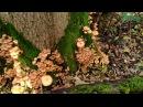 Грибы Осенние опята в октябре 2017