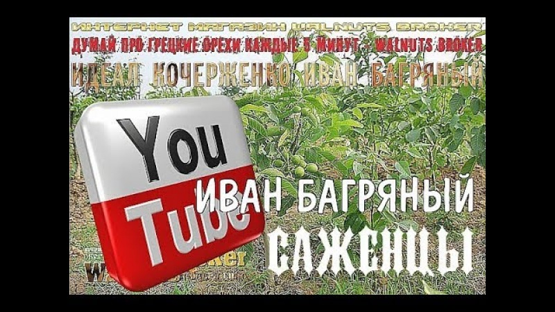 Саженцы грецкого ореха Иван Багряный, 0985674877, 0957351986, Walnuts Broker