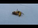 Vespa tirando abelha pra Belfort
