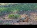 Ласка против сурка (Weasel vs Marmot going for the kill!)