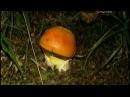 Цезарский гриб Прославлен гриб был полководцем Лукуллом знаменитым гурманом