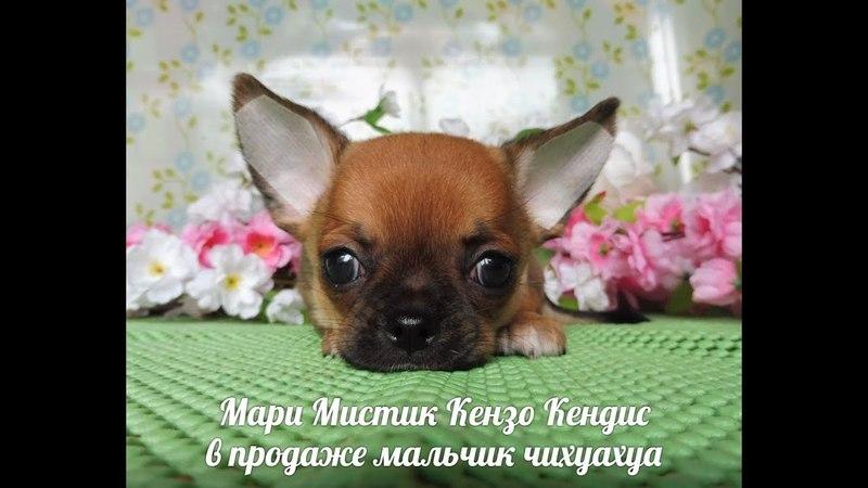 МАМА ПАПА И МАРИ МИСТИК КЕНЗО КЕНДИС 1 5 МЕС ЩЕНОК ПРОДАЁТСЯ