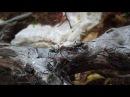 Camponotus singularis трофаллакис