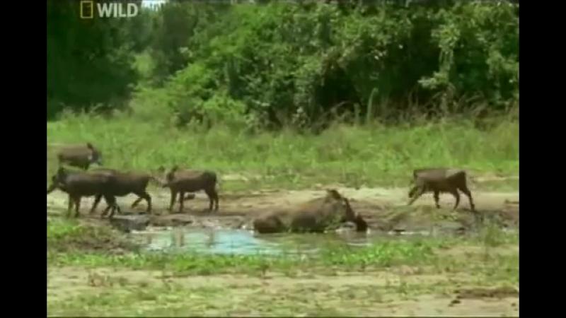 Африка. Дикие животные. Лесные свиньи. Документальный фильм National Geographic