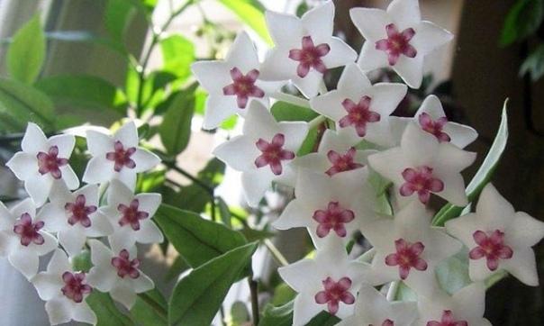 Хойя (восковой плющ) Хойя (восковой плющ) растение семейства ластовневых, произрастающее в Индии, Австралии и на островах Малайского и Полинезийского архипелага. Цветок назвали в честь Томаса