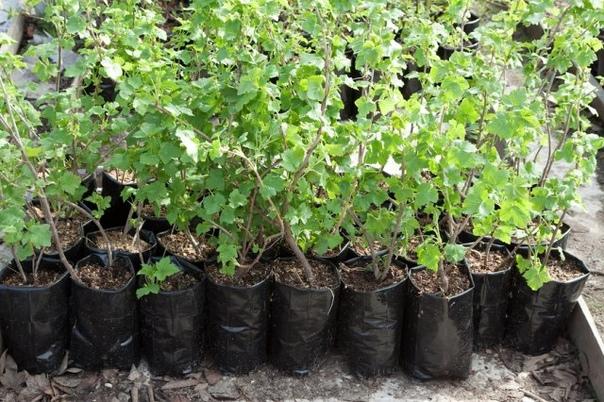 Ваш первый сад: как выбрать хорошие саженцы смородины и крыжовника Знаете, какие ягоды встречаются на дачах чаще всего Правильно, смородина и крыжовник. Это и неудивительно они вкусны, просты в