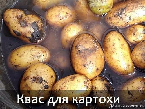 Квас для картошки Если сажать картошку на одном и том же месте долгое время, неизбежно начинаются проблемы с урожайностью. Наверняка, каждый сталкивался с этим, все-таки это не так просто каждый