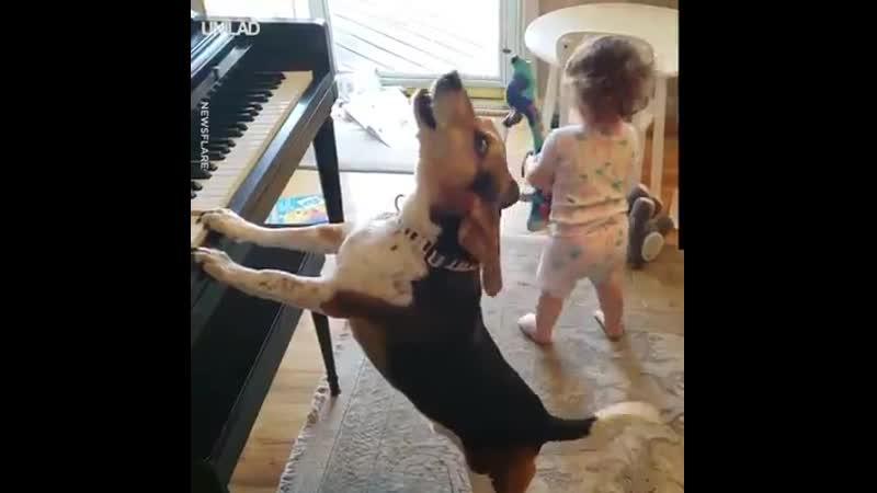 Бигль играет на пианино