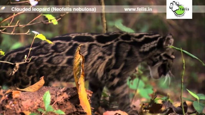 Редкие кадры самой маленькой из больших кошек - дымчатого леопарда [Felis Creations TV]
