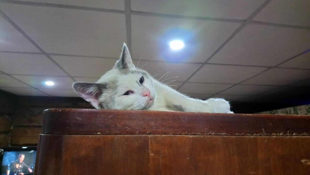 Тима. Мама сиамская кошка, папа без породы