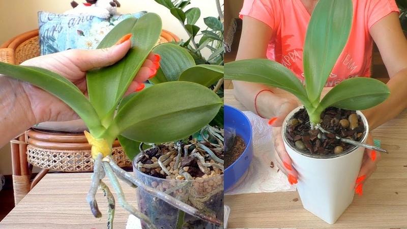 Как я отделяла БОЛЬШУЮ прикорневую ДЕТКУ орхидеи. Обработка и посадка.