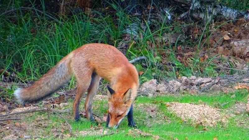 Встреча с лисом в лесу