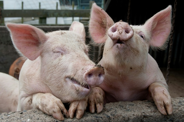 Человеку пересадят свиное сердце. Однако это отнюдь не хорошо Свиные сердца могут начать пересаживать людям в течение следующих трех лет, заявил хирург-трансплантолог Теренс Инглиш (Terence